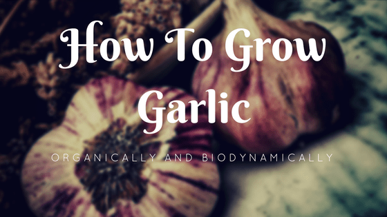 How To Grow Garlic Organically and Biodynamically